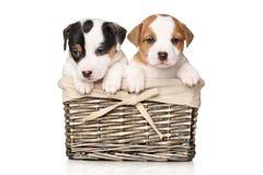 Cachorrinhos de Jack Russell na cesta de vime Fotografia de Stock