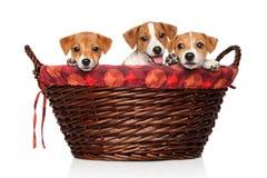 Cachorrinhos de Jack Russell na cesta de vime Fotos de Stock
