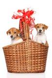 Cachorrinhos de Jack Russell na cesta de vime Foto de Stock Royalty Free