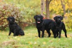 Cachorrinhos de Labrador Fotografia de Stock