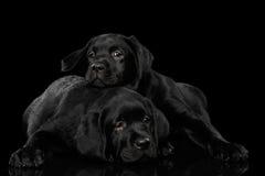 Cachorrinhos de labrador retriever no fundo preto Imagem de Stock Royalty Free