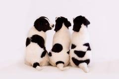 Cachorrinhos de Landseer Imagens de Stock Royalty Free