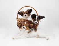 Cachorrinhos de Papillon na cesta Foto de Stock