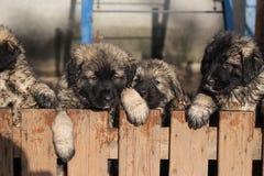 Cachorrinhos de Sarplaninac Imagens de Stock