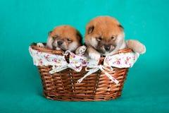Cachorrinhos de Shiba Inu em uma cesta no fundo verde Tiro do estúdio Imagens de Stock Royalty Free