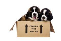 Cachorrinhos de St Bernard em uma caixa de cartão Foto de Stock