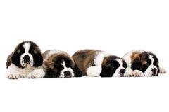 Cachorrinhos de St Bernard isolados no branco Fotos de Stock Royalty Free