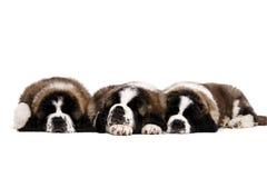 Cachorrinhos de St Bernard isolados no branco Imagens de Stock Royalty Free