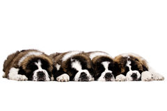 Cachorrinhos de St Bernard isolados no branco Foto de Stock Royalty Free