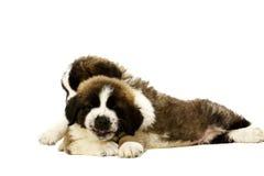 Cachorrinhos de St Bernard isolados no branco Fotografia de Stock