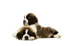 Cachorrinhos de St Bernard isolados no branco Imagens de Stock
