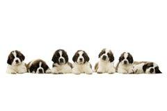 Cachorrinhos de St Bernard isolados no branco Foto de Stock