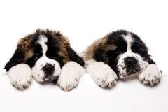 Cachorrinhos de St Bernard que olham sobre um sinal vazio Foto de Stock Royalty Free