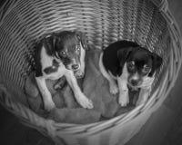 Cachorrinhos de Terrier de rato na cesta de vime Imagens de Stock Royalty Free