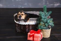 Cachorrinhos de um lebreiro na cesta Imagem de Stock Royalty Free
