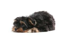 Cachorrinhos de Yorkshire sobre o branco Imagens de Stock