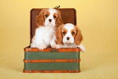 Cachorrinhos descuidados do rei Charles Spaniel que sentam-se dentro da bagagem verde da mala de viagem Fotografia de Stock Royalty Free
