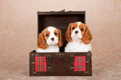 Cachorrinhos descuidados do rei Charles Spaniel que sentam-se dentro da caixa de madeira com a manta de tartã vermelha Imagem de Stock