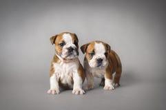 Cachorrinhos do buldogue Fotografia de Stock