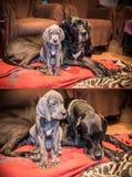 Cachorrinhos do cão Fotos de Stock Royalty Free