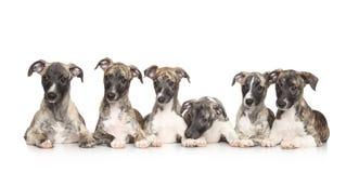 Cachorrinhos do cão de corrida Fotos de Stock Royalty Free