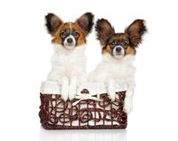 Cachorrinhos do cão de Papillon na cesta Foto de Stock Royalty Free