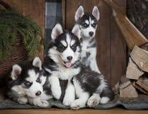Cachorrinhos do cão do cão de puxar trenós Siberian Fotografia de Stock