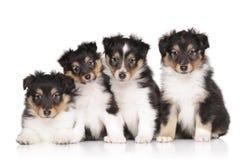 Cachorrinhos do cão pastor de Shetland Foto de Stock Royalty Free
