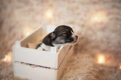 Cachorrinhos do Corgi/sessão do Corgi/estúdio com cachorrinhos do Corgi Imagens de Stock