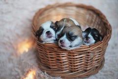 Cachorrinhos do Corgi/sessão do Corgi/estúdio com cachorrinhos do Corgi Imagens de Stock Royalty Free