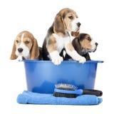 Cachorrinhos do lebreiro Foto de Stock