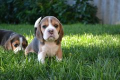 Cachorrinhos do lebreiro no gramado verde Fotos de Stock