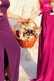 Cachorrinhos do malamula do Alasca na cesta Imagens de Stock