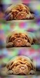 Cachorrinhos do mastim do Bordéus Fotografia de Stock