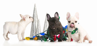 Cachorrinhos do Natal Imagem de Stock Royalty Free