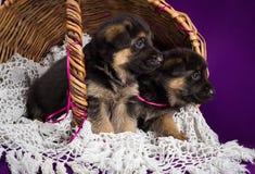 Cachorrinhos do pastor alemão que sentam-se em uma cesta Foto de Stock Royalty Free