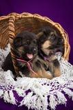 Cachorrinhos do pastor alemão que sentam-se em uma cesta Fotografia de Stock Royalty Free