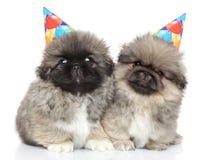 Cachorrinhos do pequinês em cones do partido Fotos de Stock Royalty Free