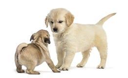 Cachorrinhos do perdigueiro e do pug que jogam junto, Imagem de Stock Royalty Free