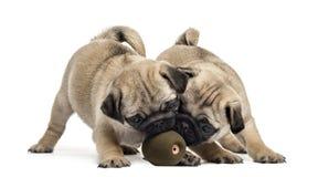 Cachorrinhos do Pug que jogam com uma bola, isolada Foto de Stock Royalty Free