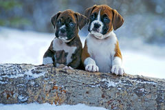 Cachorrinhos do pugilista na neve Fotografia de Stock Royalty Free