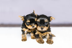 Cachorrinhos do retrato dois do yorkshire terrier Fotografia de Stock Royalty Free