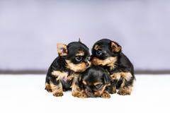 Cachorrinhos do retrato três do yorkshire terrier Imagens de Stock