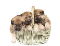 Cachorrinhos do ` s do cão pastor isolados sobre o fundo branco Imagens de Stock