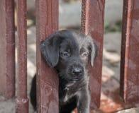 Cachorrinhos do schnauzer padrão Imagens de Stock Royalty Free