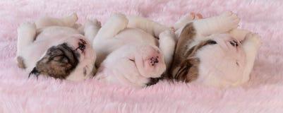 Cachorrinhos do sono Imagens de Stock