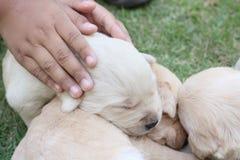Cachorrinhos do sono Labrador na grama verde Imagens de Stock Royalty Free