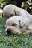 Cachorrinhos do sono Labrador na grama verde Fotos de Stock