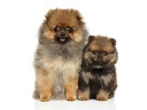 Cachorrinhos do Spitz no fundo branco Imagens de Stock Royalty Free