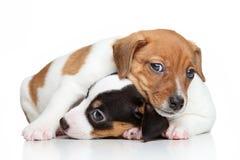 Cachorrinhos do terrier de Jack-Russell Imagens de Stock Royalty Free